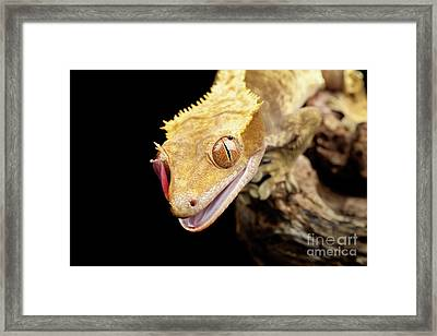 Reptile Close Up With Tongue Framed Print