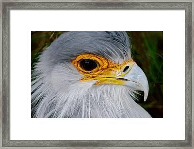 Reptile Hunter - Secretary Bird Framed Print