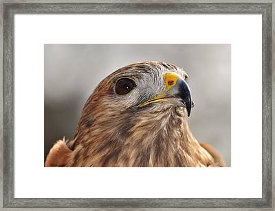 Rescued Hawk Framed Print
