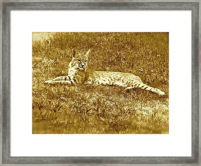 Resident Bobcat #1 - Sepia Framed Print by Bonnie See