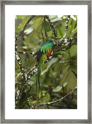 Resplendent Quetzal II Framed Print