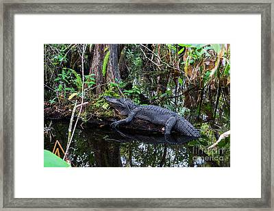 Resting Alligator   Framed Print by Timyee