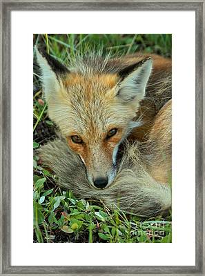Resting And Aware Framed Print by Adam Jewell