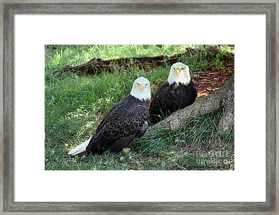 Resting Bald Eagles Framed Print