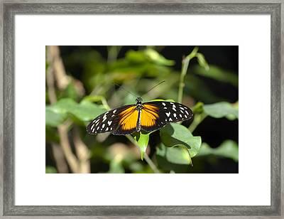 Resting Butterfly Framed Print by Sven Brogren