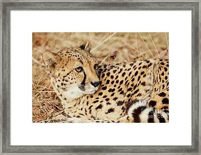 Resting Cheetah, Close-up  Framed Print by Nick Biemans
