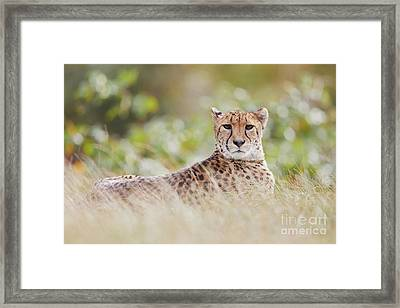 Framed Print featuring the photograph Resting Cheetah by Nick Biemans