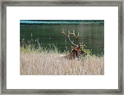 Resting Elk Framed Print by Shirley Sirois