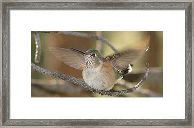 Resting Humming Bird Framed Print
