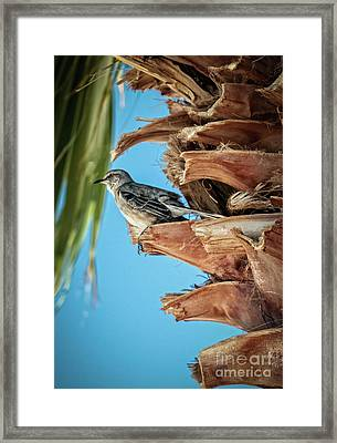 Framed Print featuring the photograph Resting Mockingbird by Robert Bales