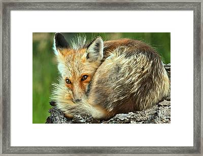 Resting On A Log Framed Print by Adam Jewell