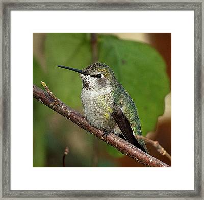 Resting Framed Print by Sheldon Bilsker