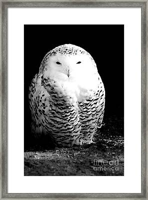Resting Snowy Owl Framed Print by Darcy Michaelchuk