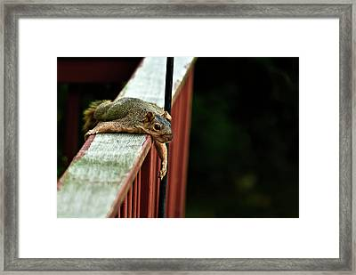 Resting Squirrel Framed Print by  Onyonet  Photo Studios