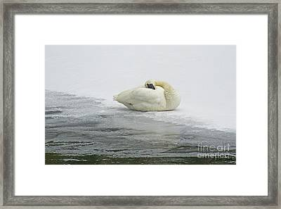 Resting Swan-signed-#1314 Framed Print by J L Woody Wooden