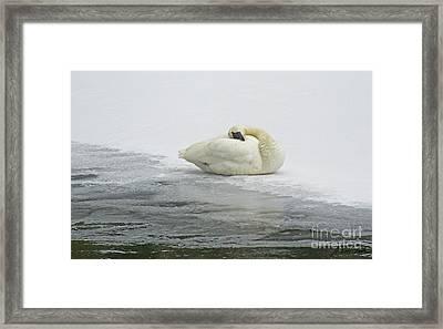 Resting Swan-signed-#1314 Framed Print