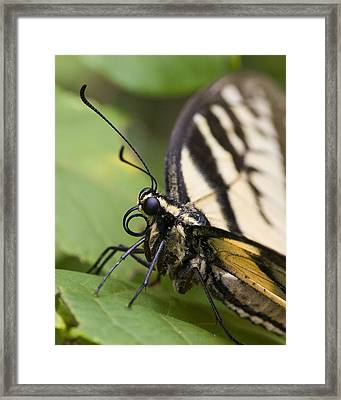 Framed Print featuring the photograph Resting Tiger by Alan Raasch