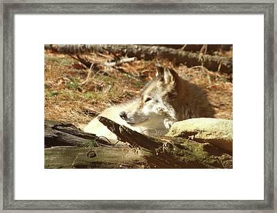 Resting Wolf Framed Print by Karol Livote