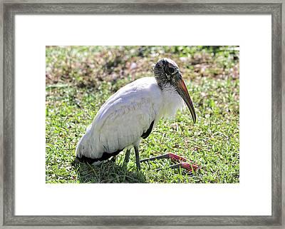 Resting Wood Stork Framed Print by Carol Groenen