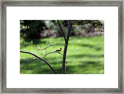 Resting Yellow Finch Framed Print by David Bearden