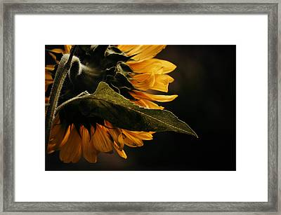 Reticent Sunflower Framed Print