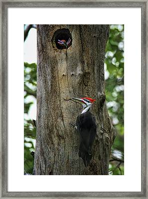 Return - Pileated Woodpecker  Framed Print by Nikolyn McDonald
