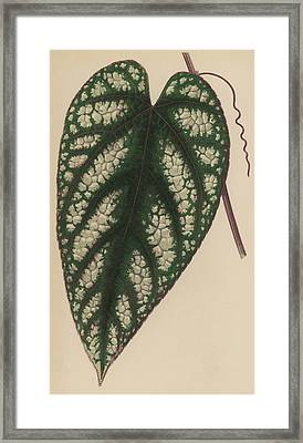 Rex Begonia Vine Cissus Discolor Framed Print by English School