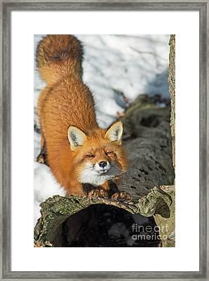 Framed Print featuring the photograph Reynard The Fox by Nina Stavlund