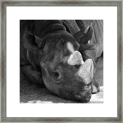 Rhino Nap Framed Print