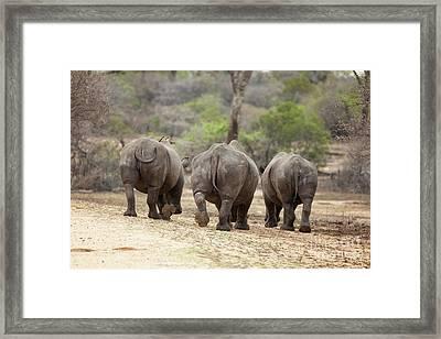 Rhino Trio Framed Print by Jane Rix