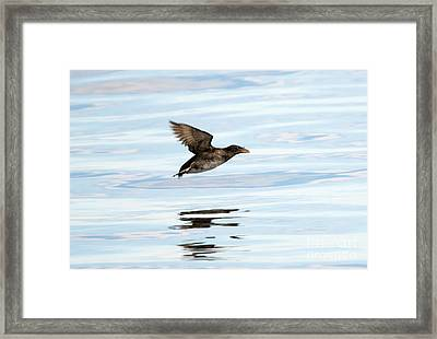 Rhinoceros Auklet Reflection Framed Print by Mike Dawson