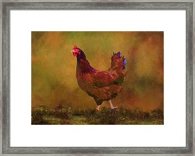 Rhode Island Red Hen Framed Print