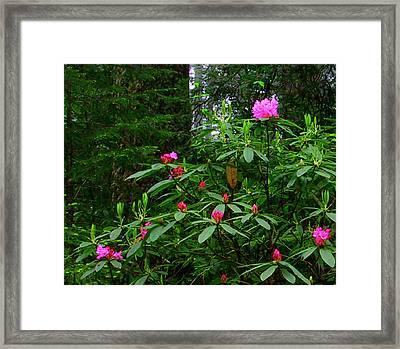 Rhodies In The Redwoods Framed Print by Tom Kidd