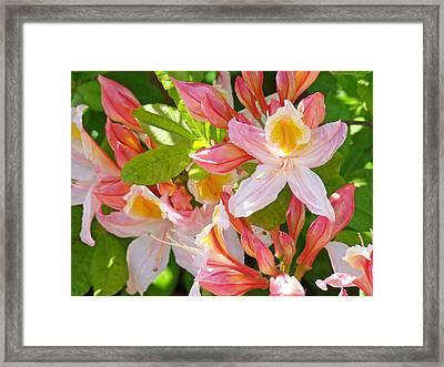 Rhodies Pink Orange Yellow Summer Rhododendron Floral Baslee Troutman Framed Print