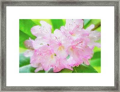 Rhododendron 4 Framed Print