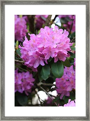 Rhododendron Beauty Framed Print