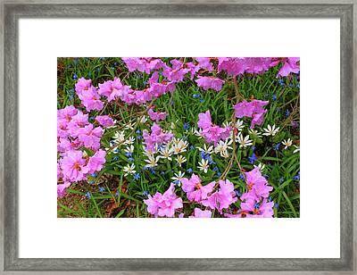 Rhododendron Bloodroot In Garden Framed Print