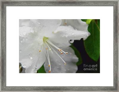 Rhododendron Blossom Framed Print