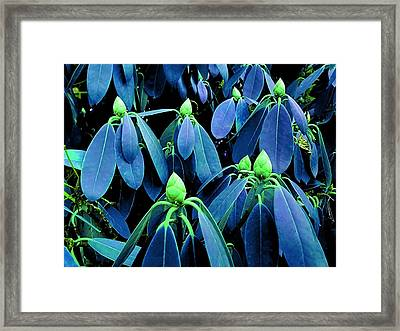 Rhododendron Buds In Spring Framed Print