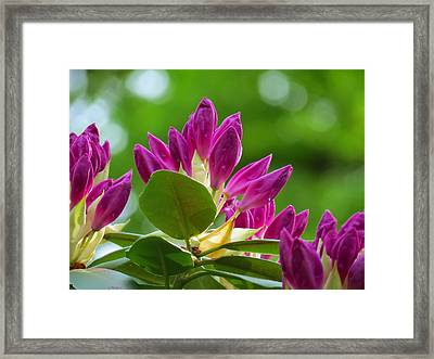 Rhododendron Buds Framed Print by MTBobbins Photography