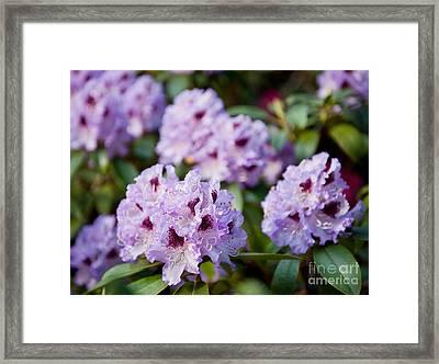 Rhododendron Called Azalea Purple Flowers  Framed Print by Arletta Cwalina