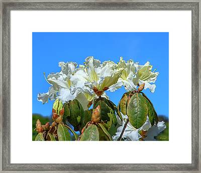 Rhododendron Ciliicalyx Dthn0213 Framed Print