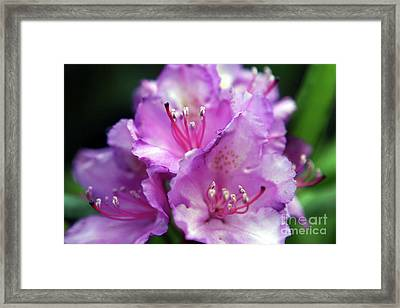 Rhododendron Festival Framed Print