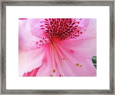 Rhododendron Flower Macro Pink Rhodies Baslee Troutman Framed Print