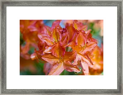 Rhododendron Flowers Framed Print by Frank Tschakert