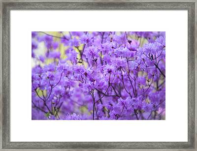 Framed Print featuring the photograph Rhododendron In Bloom. Spring Watercolors by Jenny Rainbow