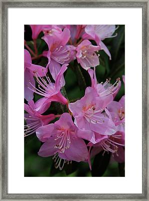 Rhododendron In The Pink Framed Print by Laddie Halupa