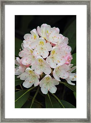 Rhododendron Maximum Framed Print by John Burk