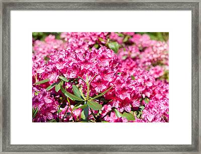 Rhododendron Or Azalea Blossoms Bunch Framed Print by Arletta Cwalina