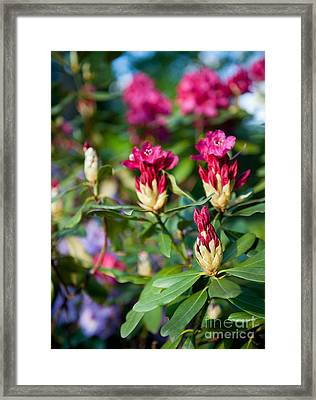 Rhododendron Or Azalea Buds Bright Pink  Framed Print by Arletta Cwalina